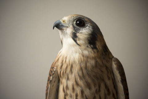 We will do a classroom adoption for Stella, a female American Kestrel
