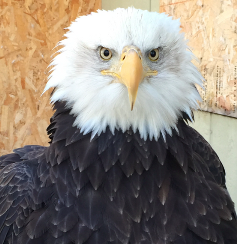 I will Adopt 99, a Female Bald Eagle