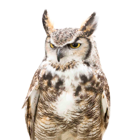 I will Adopt Bu, a Male Great Horned Owl