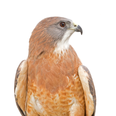 We will Adopt Chaco, a Male Swainson's Hawk