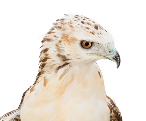 We will do a classroom adoption for Sydnee, a female Krider's Red-tailed hawk