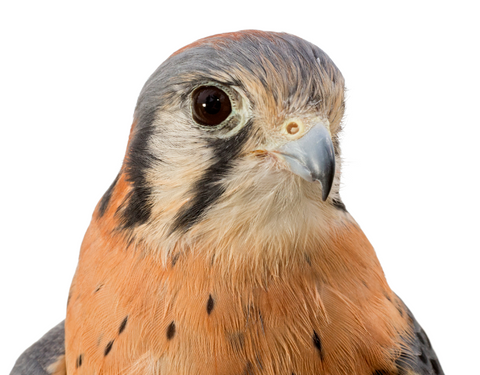 We will Adopt Watson, a Male American Kestrel
