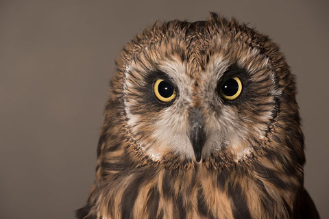 We will do a classroom adoption for Prairie, a female Short-eared Owl