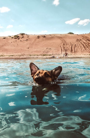 Barkley-and-Pawsh-swimming-dog