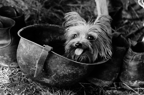 Smoky-Yorkshire-Terrier-Heroic-Dog