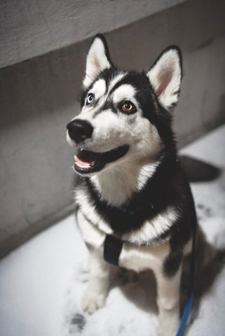 Barkley-and-pawsh-siberian-husky