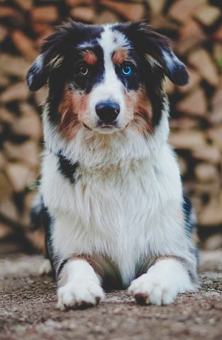 Barkley-and-pawsh-australian-shepherd