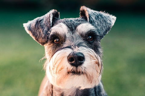 Barkley-and-pawsh-schnauzer