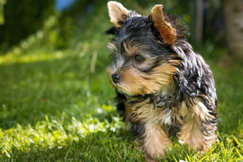 Barkley-and-pawsh-yorkshire-terrier-yorkie