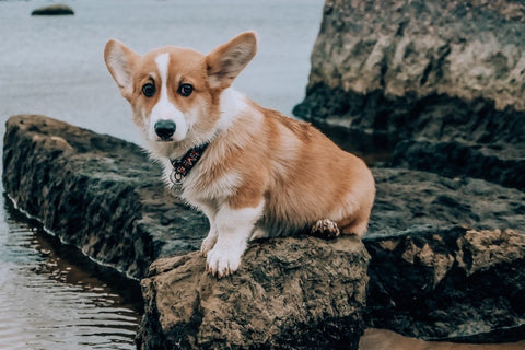 barkley-and-pawsh-pembroke-welsh-corgi