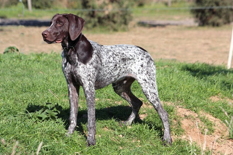 barkley-and-pawsh-german-shorthaired-pointer