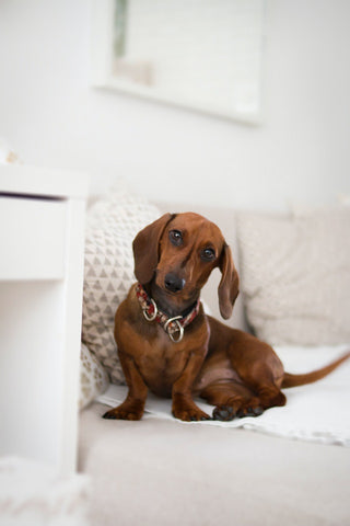 Barkley-and-pawsh-Dachshunds
