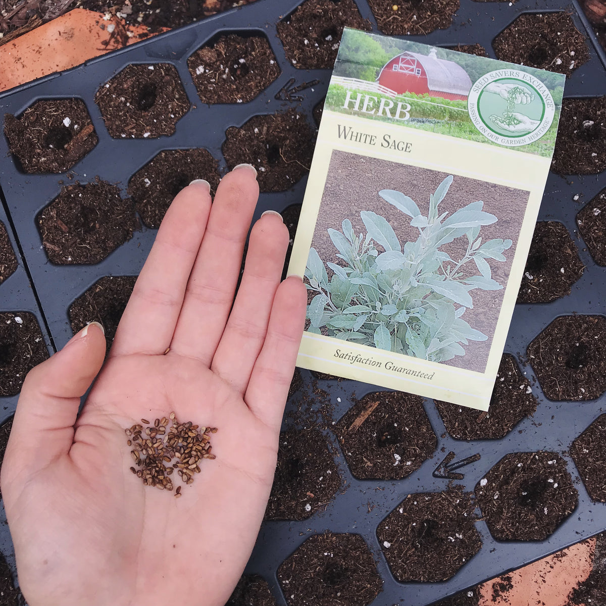 Complete White Sage Growing Guide