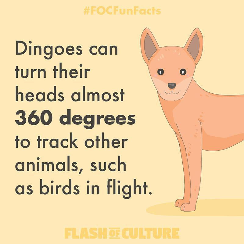 How far can dingoes rotate their head?-Flash of Culture™