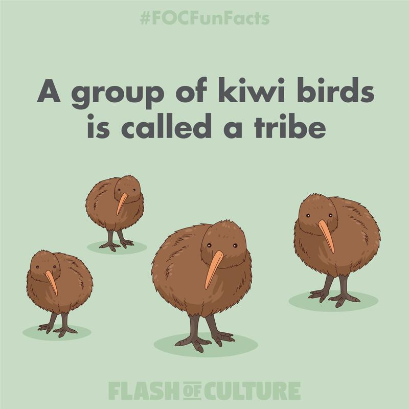 A group of kiwi birds is called a tribe