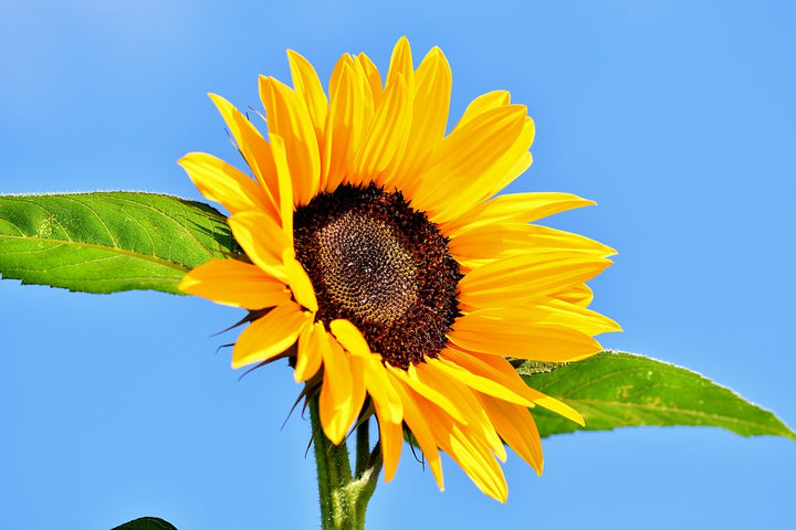 Why We Use Sunflower Oil As Our 2nd Choice!