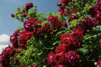 Quick-Tips for Starting Your Own Rose Garden