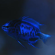 Blue Sapphire Damselfish - Bay Bridge Aquarium and Pet