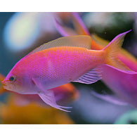 Bartlett Anthias - Bay Bridge Aquarium and Pet