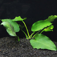 Anubias barteri - Bay Bridge Aquarium and Pet