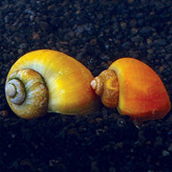 Assorted Mystery Snails - Bay Bridge Aquarium and Pet