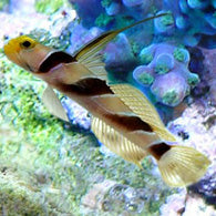 Yellow Rose (Antenna) Goby