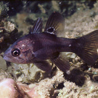 Black Cardinalfish - Bay Bridge Aquarium and Pet