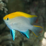 Bluefin Damselfish - Bay Bridge Aquarium and Pet