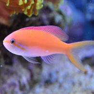 Carberryi Anthias - Bay Bridge Aquarium and Pet