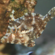 Aiptasia Eating Filefish - Bay Bridge Aquarium and Pet