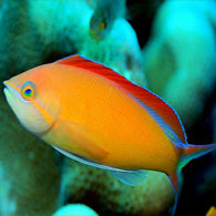 Flame Anthias