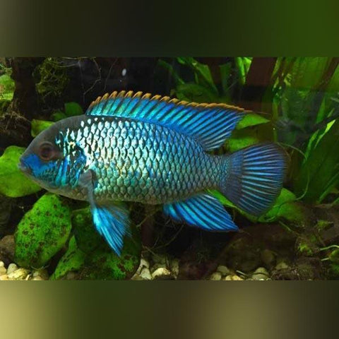Blue Acara - Bay Bridge Aquarium and Pet