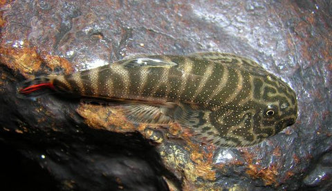 Borneo Hillstream Loach - Bay Bridge Aquarium and Pet