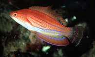 Carpenter Flasher Wrasse