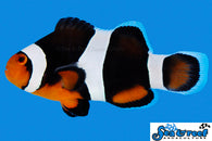 Black Photon Clownfish - Bay Bridge Aquarium and Pet