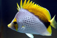 Declives Butterflyfish
