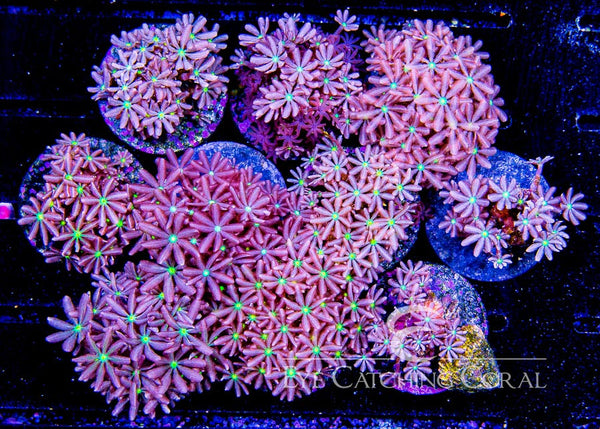 Colored Daisy Polyps Frags