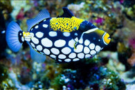 Clown Triggerfish - Bay Bridge Aquarium and Pet