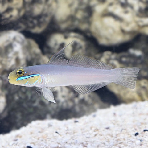 Golden-headed Sleeper Goby