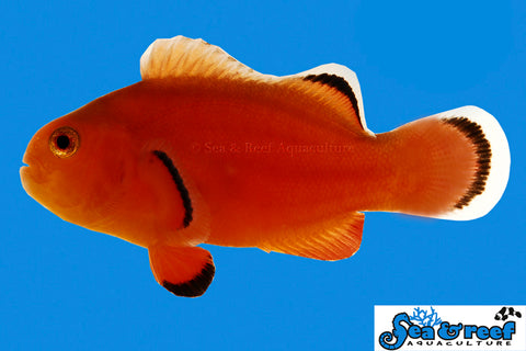 Naked Clownfish