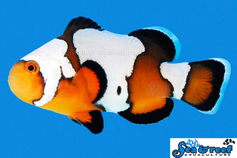 Black Ice Clownfish