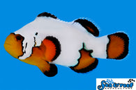 Ultra Black Ice Clownfish