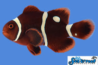 Gold Dot Maroon Clownfish