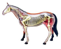 4D Vision Horse Anatomy Model by Tedco Toys