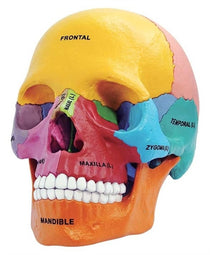 4D Anatomy Didactic Exploded Skull by Tedco Toys