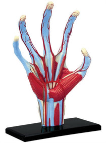 4D Human Anatomy Hand Model by Tedco Toys
