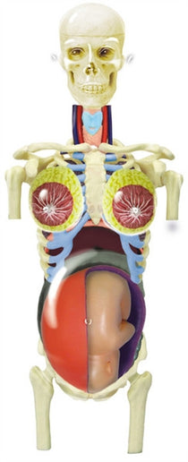 4D Pregnancy Anatomy Torso by Tedco Toys