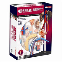 4D Human Anatomy Male Reproductive System by Tedco Toys
