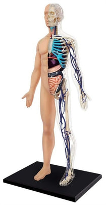 4D Human Anatomy Half Cleared Human Body by Tedco Toys