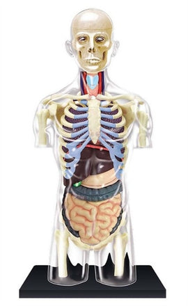 4D Human Anatomy Transparent Torso Model by Tedco Toys
